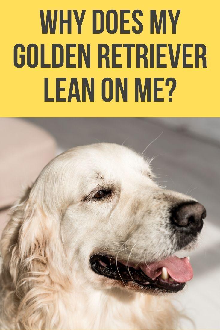 Why Does My Golden Retriever Lean On Me Lean On Me Retriever
