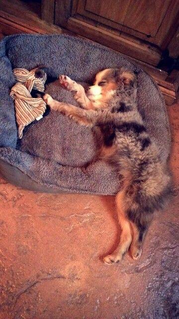 Hugo, my toy Aussie, blue eyed bae. Australian shepherd. aussies. puppy