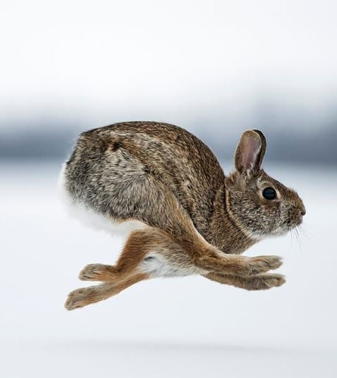 """beautiful-wildlife: """"Cottontail Rabbit by © Justin Russo """""""