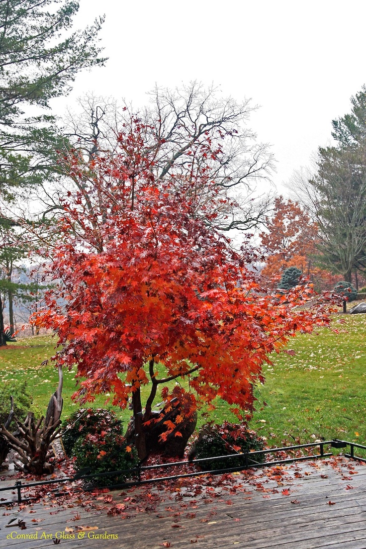A New Japanese Maple Cross With Korean Maple Called