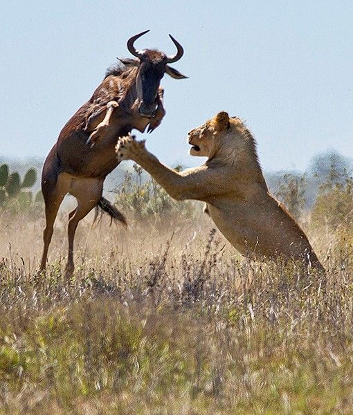 In these photographs, taken bywildlife photographer Jacques Matthysen, 36, a hungry lioness confronts a wildebeest that was grazing peacefu...