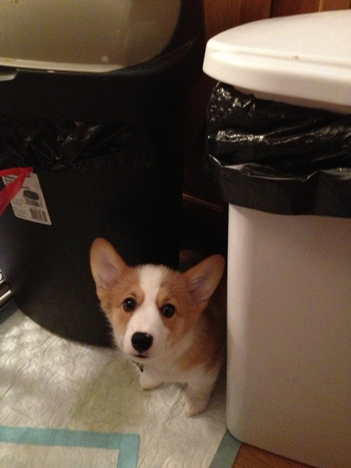 wilsonthecorgi:    It's okay, Wilson. I promise the vacuum cleaner won't eat you. You can come out from your hiding spot.Corgis Butt, Corgis Rules, I Promise,  Pembroke Welsh Corgis, Wilsonthecorgi, Cleaners Corgis, Funny Corgis