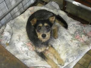 Scruffy is an adoptable Schnauzer Dog in Jasper, TX. Sruffy is a little over a year old. He has all his shots and is heartworm negative. This little cutie would do best with an older couple or single ...
