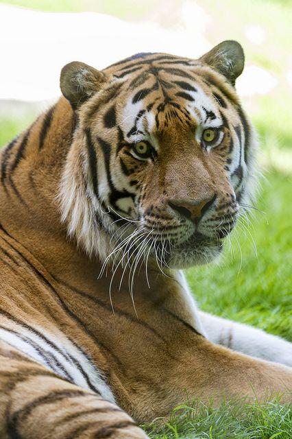 780 fantastiche immagini su tigri su pinterest tigre for Disegni delle tigri