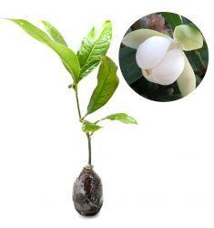 Magnolia Coco Rp 96,000
