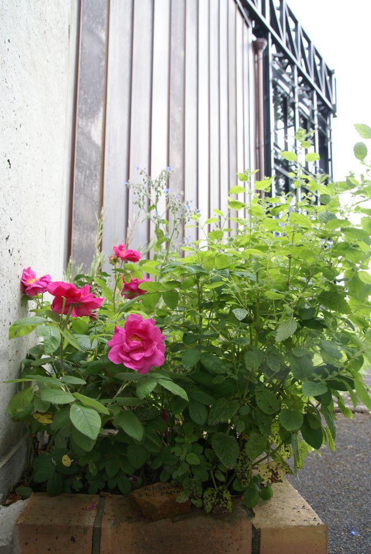 Rose de Damas et mélisse. http://www.argentomagus.fr