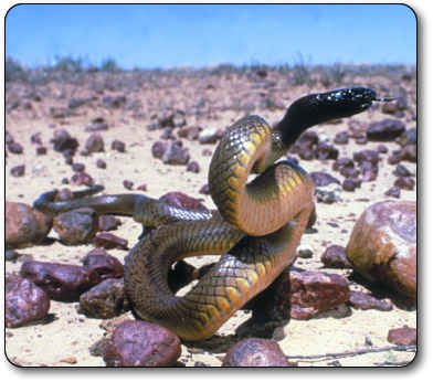 """#2. Most of the most deadly snakes in the world. This is the Inland Taipan - world's most venomous snake, found only in Australia. """"Its venom is 200-400 times more toxic than most rattlesnakes and 50 times as toxic as a cobra."""""""