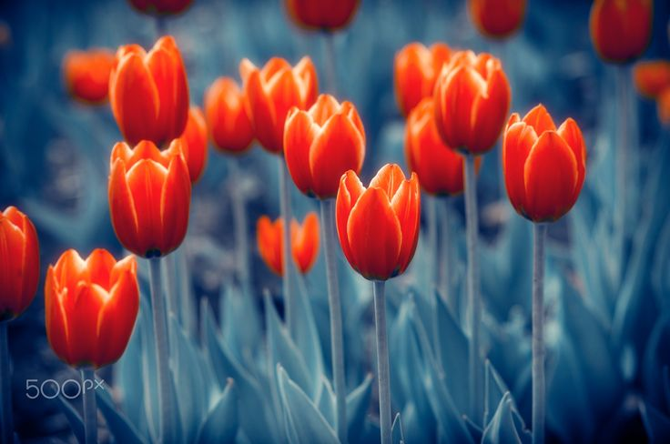 """Red Tulips Flowers - Tulips Red Fiery Flowers Photo Art Nature Background. From """"Flowers with Indigo"""" photo art series."""