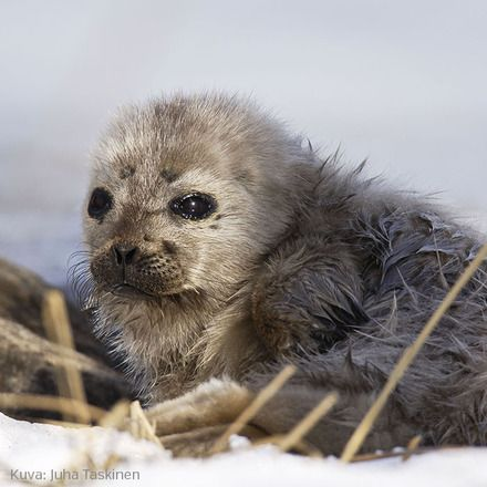 Pup of ringed seal who lives in Saimaa Lake in eastern Finland.