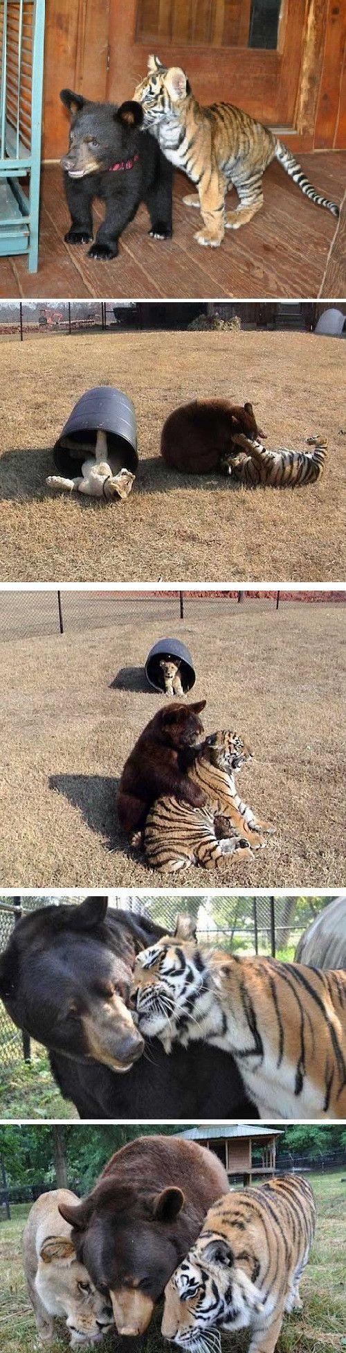 Je pense que c'est tres adorable. Un ours et un tigre qui est amis pour un long temps, joue ensemble.