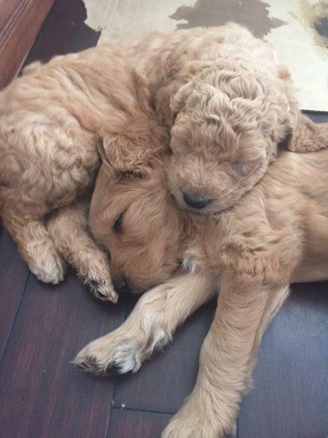 Litter Of 4 Goldendoodle Puppies For Sale In Cleveland Oh Adn 33483 On Puppyfinder Com Gender Puppies For Sale Goldendoodle Puppy For Sale Goldendoodle Puppy