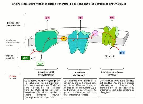 Banque de Schémas - SVT - Académie de Dijon - Mitochondrie. Chaîne respiratoire mitochondriale: transferts d'électrons entre les complexes enzymatiques