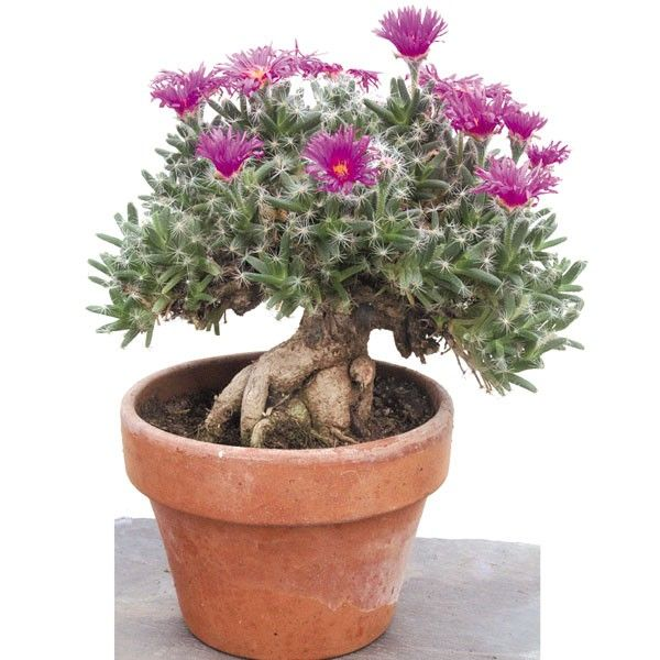 Miniature Desert Rose (Trichodiadema densum) survives long periods of dryness perfect for a sunny window