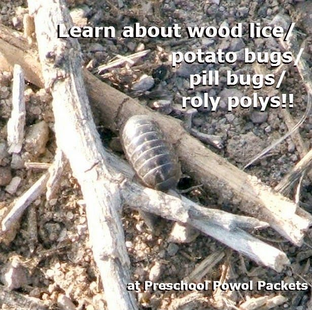 Everything you want to know about Pill Bugs, Roly Polys, Sow Bugs, Woodlice, or Potato Bugs!  Plus, fun science experiments!! #preschool