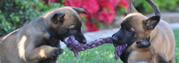 This is a great Belgian Malinois breeder