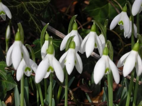 Snowdrop: the milk flower | Nature Notes from Dorset