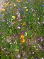 Wild flowers in the verges, deepest rural Charente-Maritime France