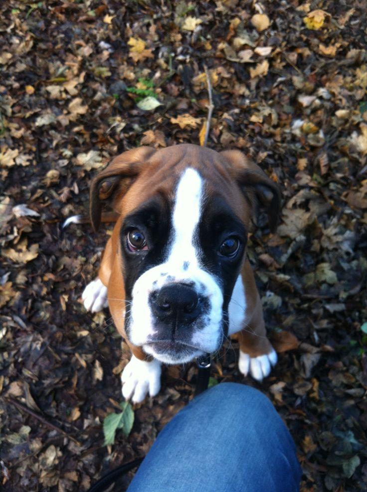 Boxer cooper puppy