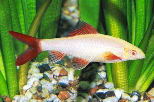 Ikan Akuarium Air Tawar Hias Hiu Pelangi