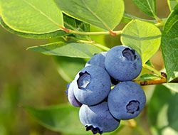 tips for growing bluberries in a pot
