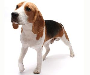 Beagle - happy, social, friendly short-haired dog who loves to follow their nose! #beagle #dog