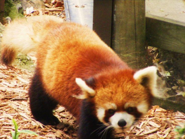 Akron Zoo Red Panda