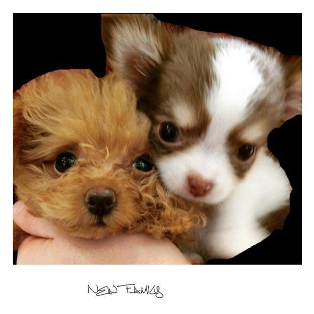 . . わんちゃん用のインスタ始めました❤︎ . わんちゃん初心者なんで . 分からないことだらけやけど(*_*) . もこちゃん❤︎くぅちゃんの . 成長記録用にするんで . わんちゃん好きの人は仲良くして下さい❤︎ * * * #ティーカッププードル #ロングコートチワワ#チワワ #teacuppoodle #longchihuahua#chihuahua #dog#love#cute#kawaii #愛犬#愛犬家#犬#わんちゃん