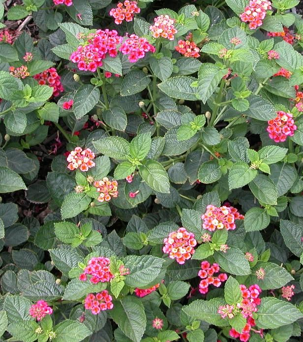 Lantana are great companion plants in veggie gardens, as they attract beneficial insects. The bright flowers, clean evergreen foliage and drought tolerance make this southern perennial (or shrub) a stalwart of gardens in hot, dry areas. One to six feet tall, low and spreading to upright, depending on variety; comes in yellow, orange, pink, red and bicolors. Attracts butterflies, and birds eat the berries.