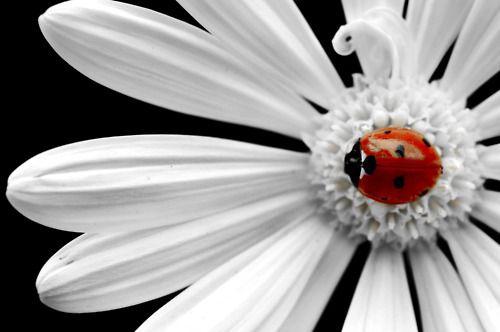 Ladybug And White Daisy...
