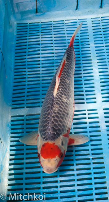 A super-rare Tancho Asagi.  This koi is one of the best picks from the recent trip, and is a real 'one-off'.  Rich red Tancho spot overlaying traditional Asagi blue, great netted scale articulation and destined to turn heads in your pond.  To see more koi like this one, feel free to visit the new Mitchkoi facility in Staffordshire.  Call 01538 360438 for details.  Size: 43cm (17