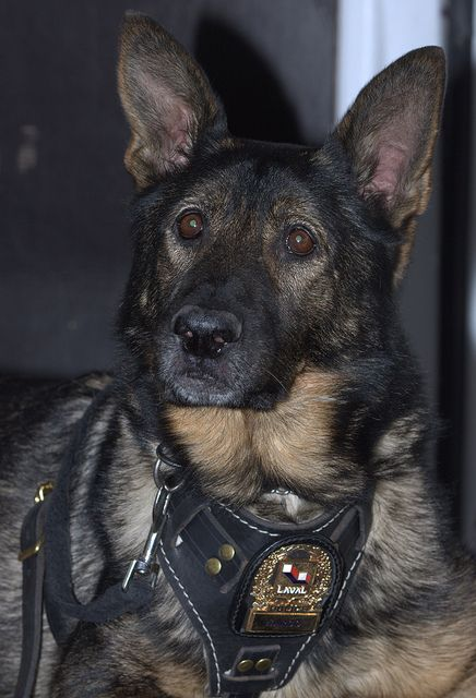 Our brave dog soldier of war