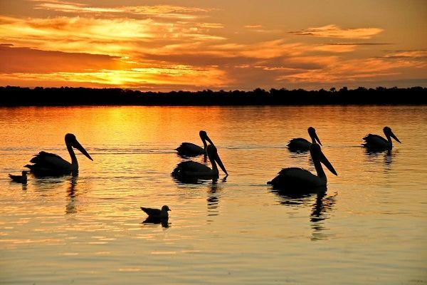 Pelicans at sunset, West Inlet Stanley Tasmania Photo by Carol Haberle, article by Greg Hale for think-tasmania.com