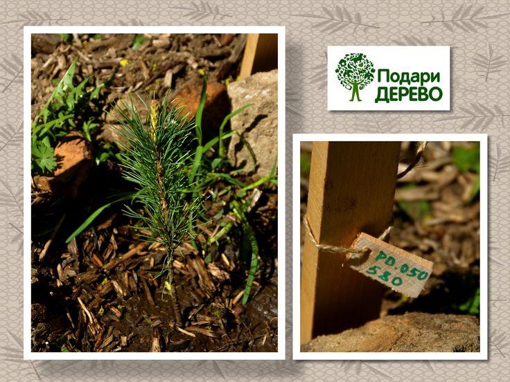Как посадить дерево и сделать оригинальный подарок | ПОДАРИ-ДЕРЕВО.РФ