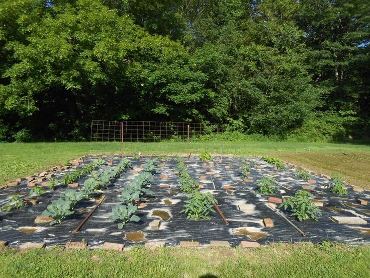 my garden with black plastic keeps moisture in keeps weeds out gardening pinterest gardens