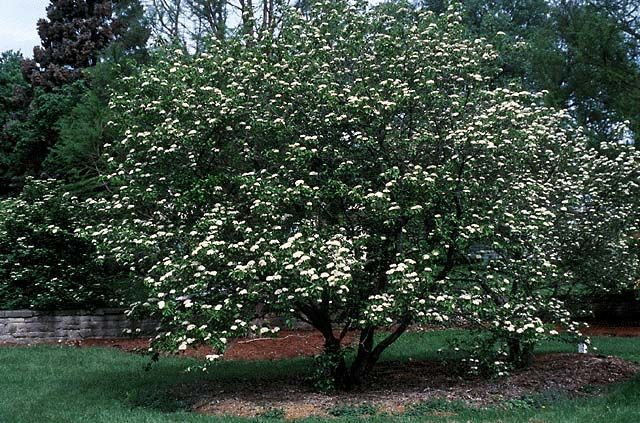 25 best deciduous shrubs images on pinterest for Short trees that grow in shade