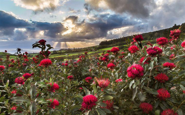 Lataa kuva Azorit, kesällä, niitty, sunset, hills, punaiset kukat, Portugali
