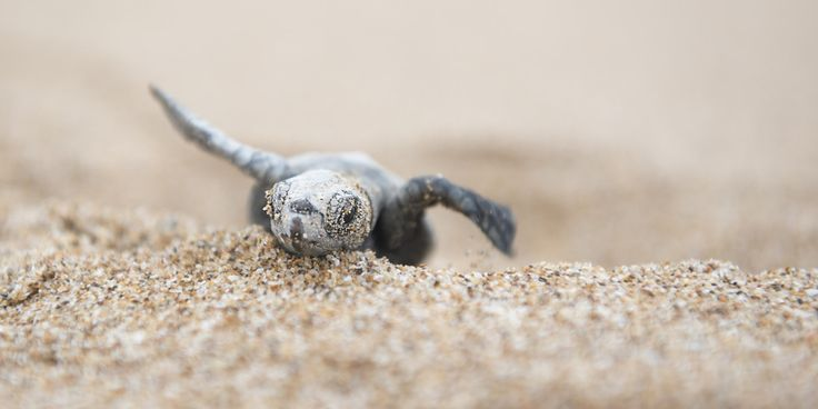 oh my goodness baby sea turtle