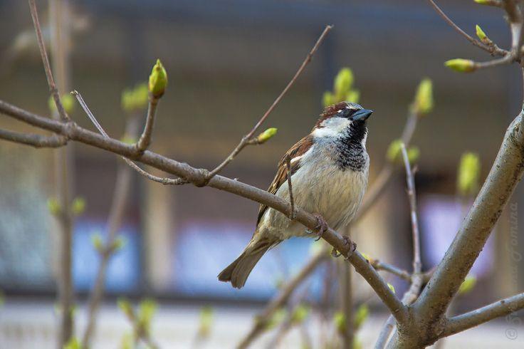 sparrow by fominasveta
