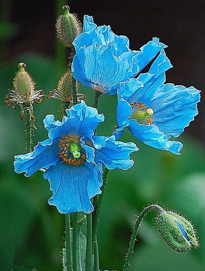 Flower Himalayan Blue Poppies by Joan  Hoffman.