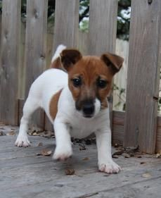 Short Jack Russell puppies for sale. Jack Russell Terrier puppy breeder with…