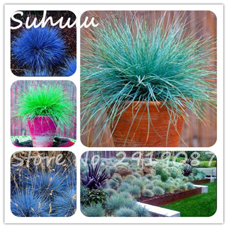 Cheap 200 pcs blue fescue grass seeds Fesnea Glauca Ornamental Grass Seeds  for flower pot planters diy home garden planting