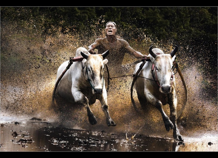"""""""Karapan Sapi"""" : Indonesia's Madura Island traditional cow drag race. A pair of cows drag a modified wooden plow where a jockey stands to race with other cow-racers on a 100 m lane typically lasting teens of seconds to a minute."""