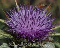 Γαιδουράγκαθο – Silybum marianum