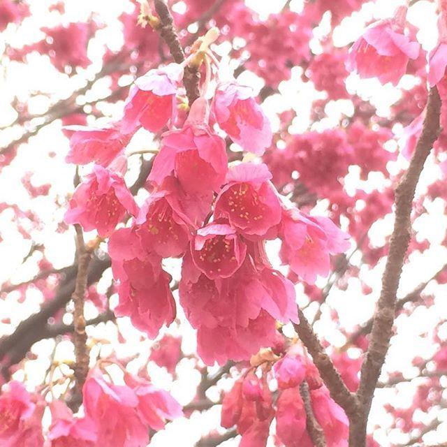 【kiyoshishimizu】さんのInstagramをピンしています。 《お出かけ先で…これは昨日の午後のPic…(o^^o) ・ 今年も既に咲いていた…(^▽^;) ・  明るめに撮った緋紅色の花…゚*。(o'∀')b。*゚ ・ ・ ・  #お出かけ先 #神奈川 #横浜 #本牧山頂公園 #本牧 #お散歩 #カンヒザクラ #ヒカンザクラ #緋寒桜 #寒緋桜 #緋桜 #桜 #昨日のPic #過去のPic ストレス解消に久しぶりに歩きまくった #今日はお休み ですがまたお散歩に行くかも…(^▽^;)》