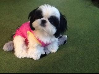 What a cute shih tzu!