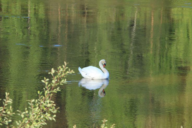 A sweet svan, i love them :-)