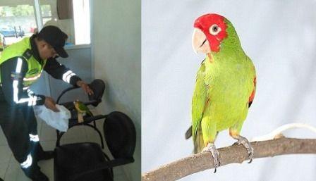 En el Centenario rescatan loro cabeza roja y lo trasladan a reserva ecológica