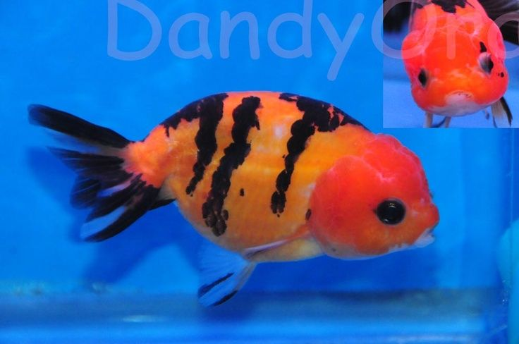35 best images about ranchu goldfish on pinterest for Tiger striped fish