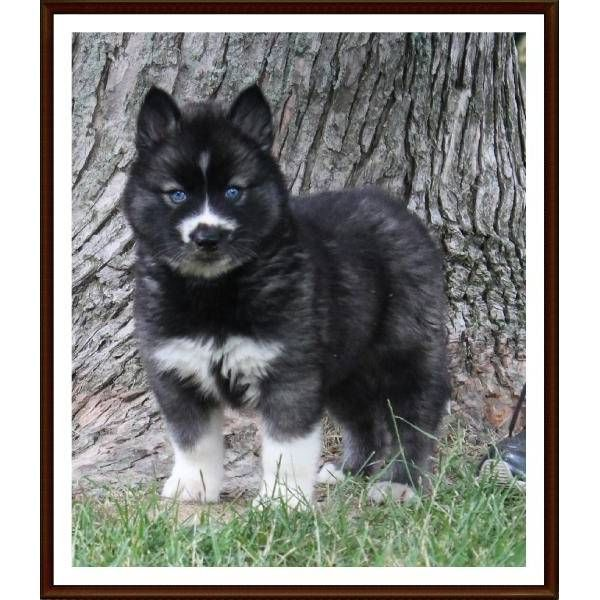 Can we talk about how adorable she is?!! Quality AKC Female Agouti Siberian Husky - Bella. A cute female Siberian Husky puppy for sale in Terre Haute, IN 47802.
