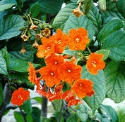 Cordia sebastena / Orange Cordia    Native to South Florida and the Caribbean, this small sized tree (20 - 25 feet) is salt and drought tolerant and flowers spring/summer/fall with intensely orange blossoms. The tree is evergreen and requires full sun. Zones 10-11